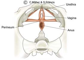 Diagram of a female pelvis indicating the urethra, vagina, anus, and perineum muscles